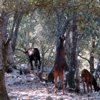 cabras-4